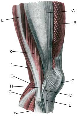 knæ anatomi
