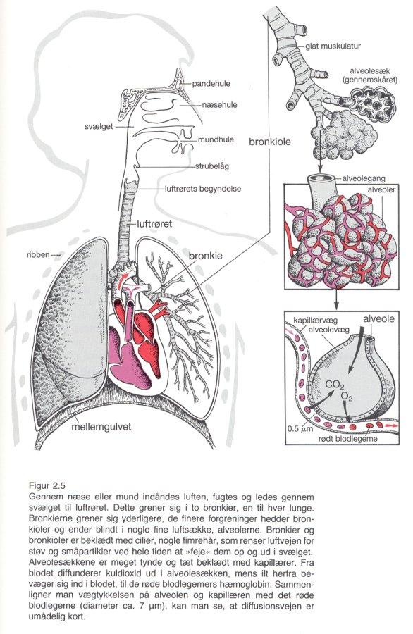 Luftvejenes Anatomi