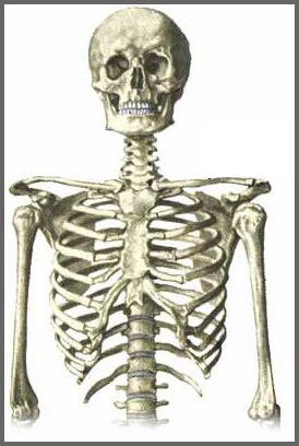 skelet anatomi